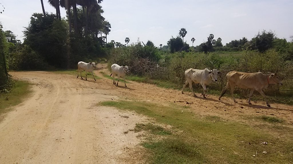 コンポンチュナン 牛