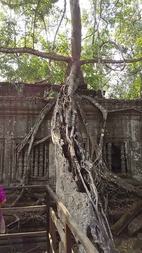 ベンメリア 木の根