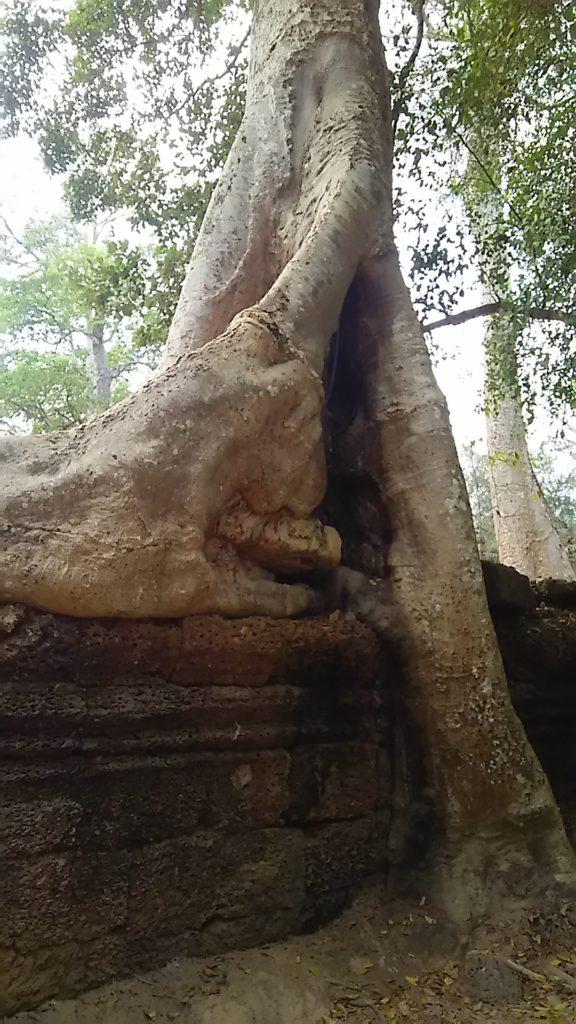 タ・プローム寺院 木の根