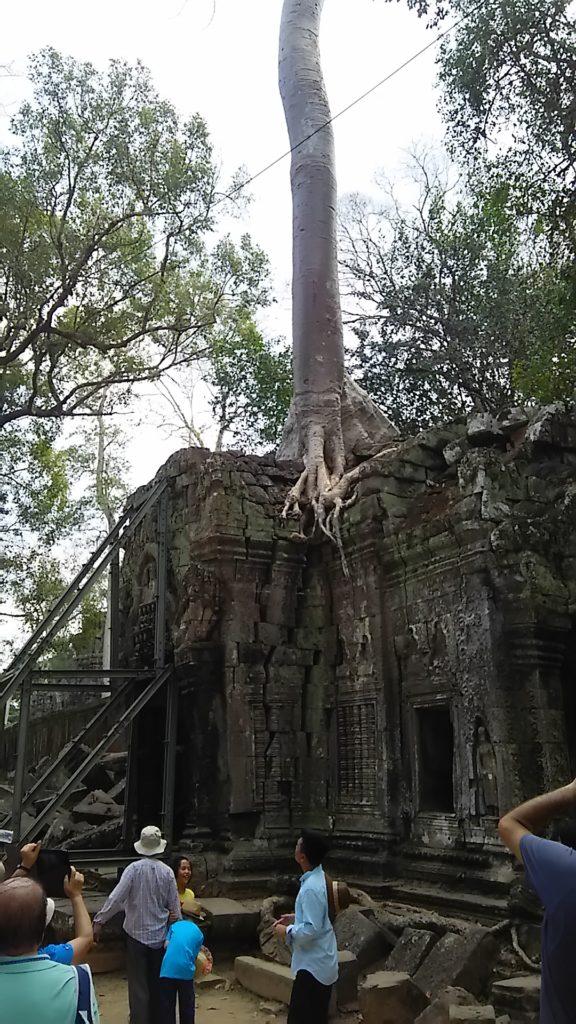 タ・プローム寺院 ガジュマル