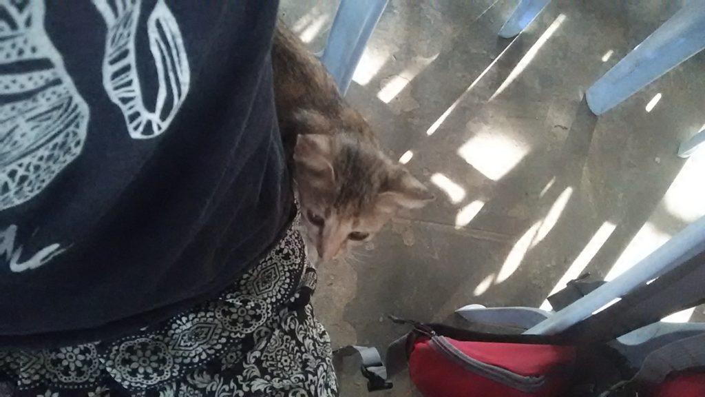 カンボジア 子猫